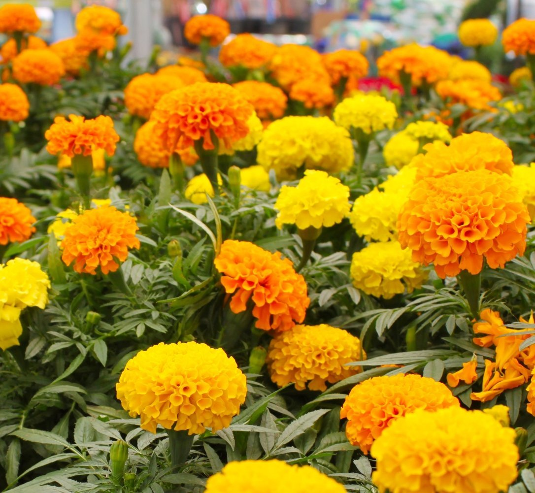 French Marigold Sparky Mix Asia Seeds