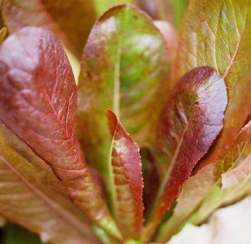 cimeron-lettuce-red