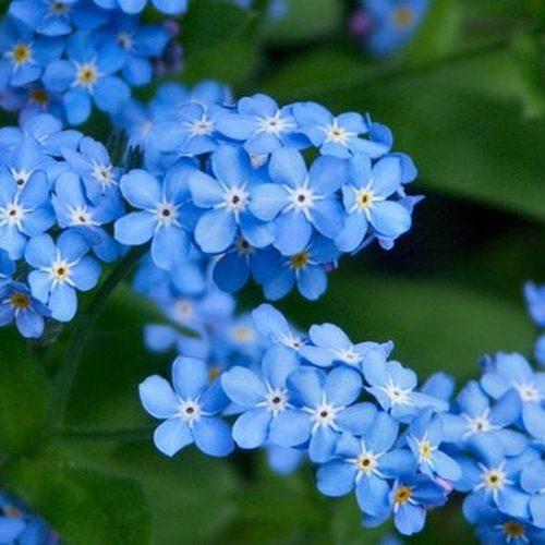 forget-me-not2