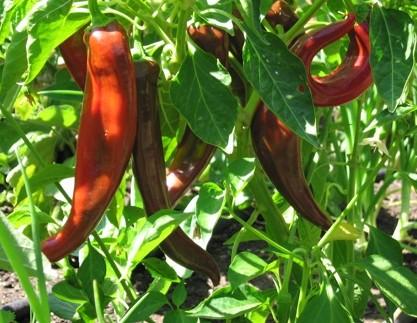 Anaheim Pepper Asia Seeds