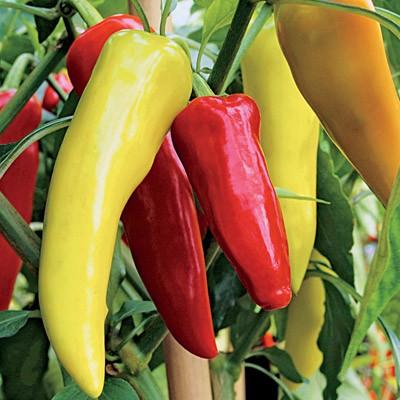 Sweet Banana Pepper – Asia Seeds